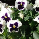 Humble Pansies, Happy Thoughts