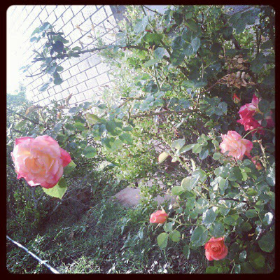 rp_instagram-roses-after-rain.jpg
