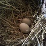 Fresh Farm Eggs & a Giveaway!