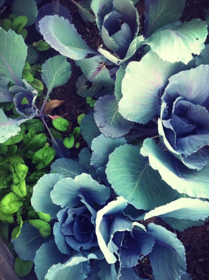 Corsage-shaped cabbages interplanted with spinach and lettuce. Last year, I visited them a few times each day to watch the shades of purple change in the light.