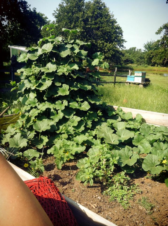 You probably don't get cantaloupe vines like this without using manure in your soil. Did that sound obnoxious? Sorry. But it's just true.