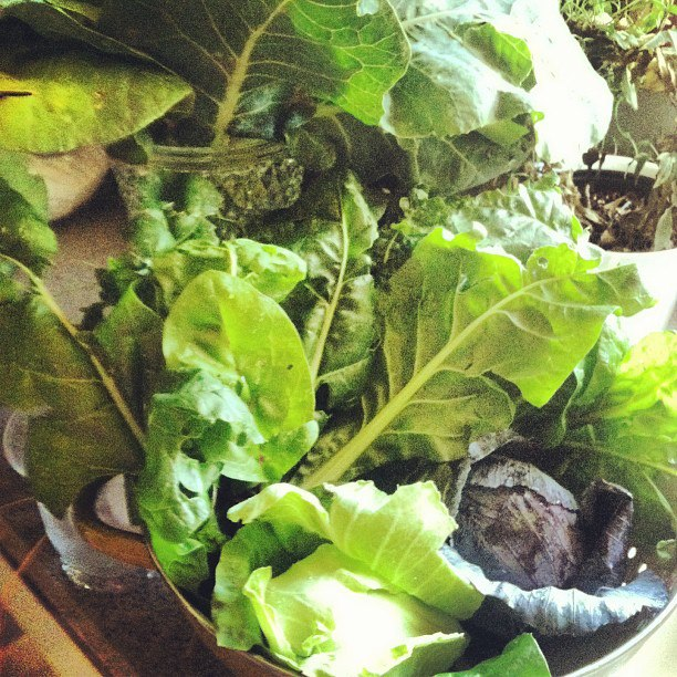 Last year I fed myself constantly with fresh cabbages, rainbow chard, spinach, you name it. All lightyears more beautiful and delicious than anything from the grocery store.