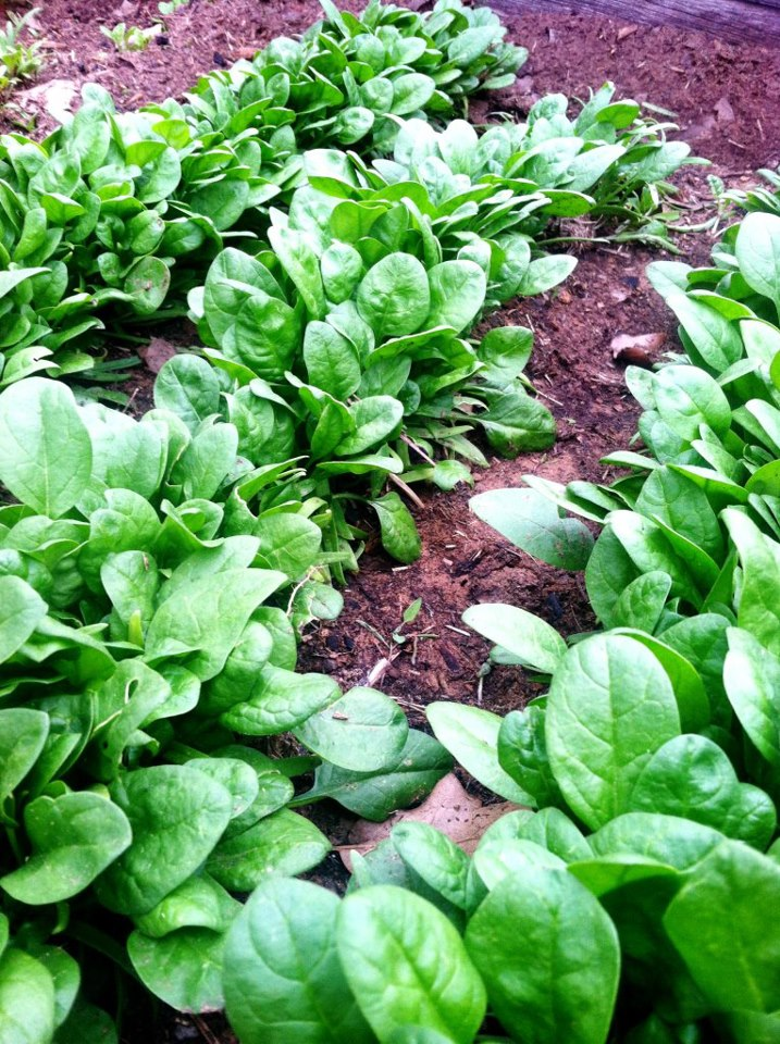 My gosh... Every year the deep green color of spinach ruffles captures my heart all over again. And spinach is so easy to grow! And it can be trimmed with scissors to grow several times from the same plant.