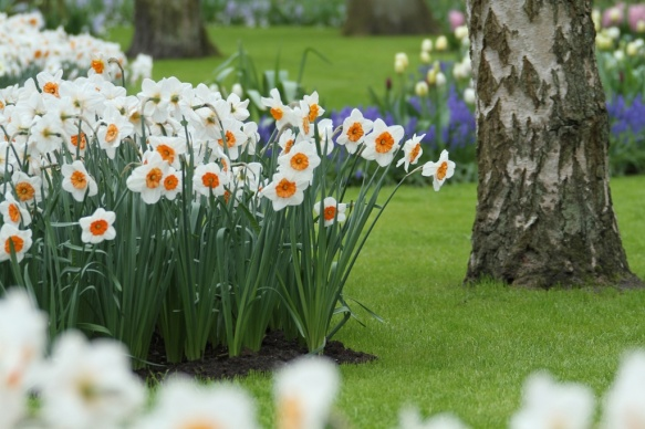 25 daffodil bulbs from Longfield Gardens