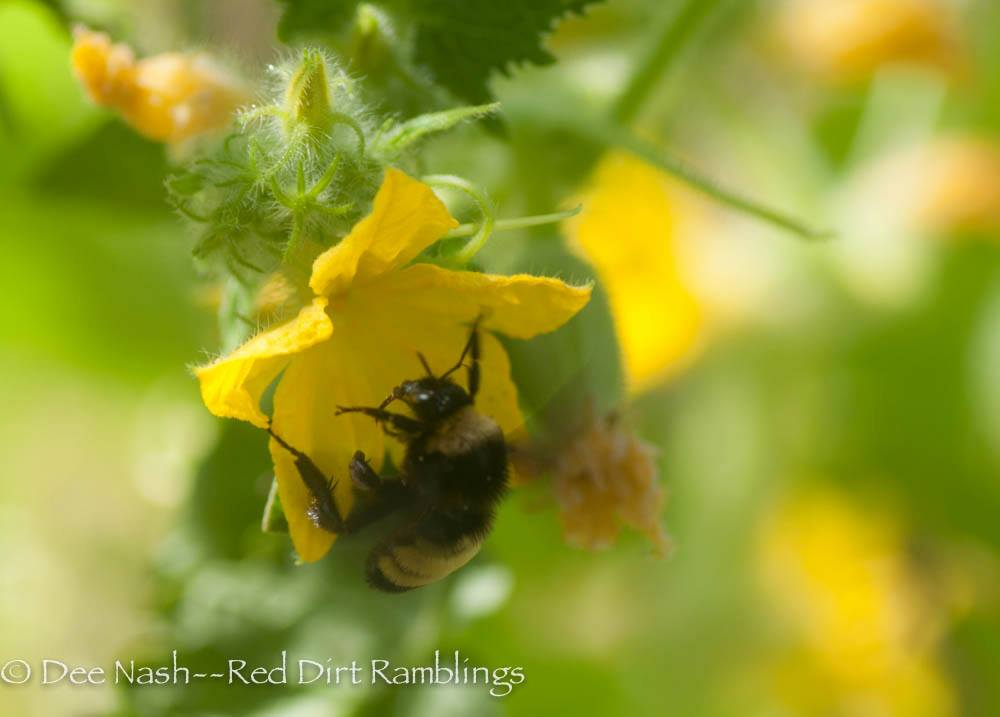 This bee is collecting valuable pollen from a cucumber bloom. Guess what? Dee is considering the leap into backyard beekeeping with me. xoxo