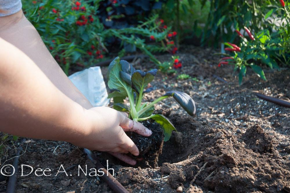 Fall vegetables being transplanted.