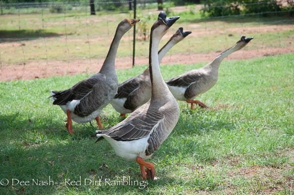 The geese made a noisy appearance that day as we chatted outside, and Dee captured this moment.