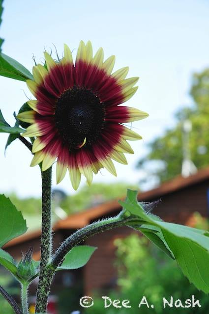 Check out this proud, colorful sunflower in her vegetable garden. Dee emphasises the use of edibles as ornamentals and the use of flowers in the edible garden, too. She is big on promoting the  health of natural pollinators.
