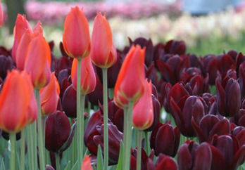25 tulip bulbs from Longfield Gardens