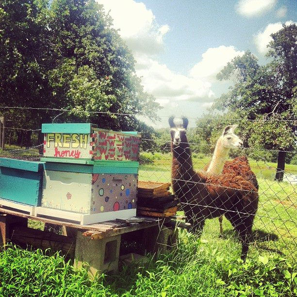 llamas guarding honey