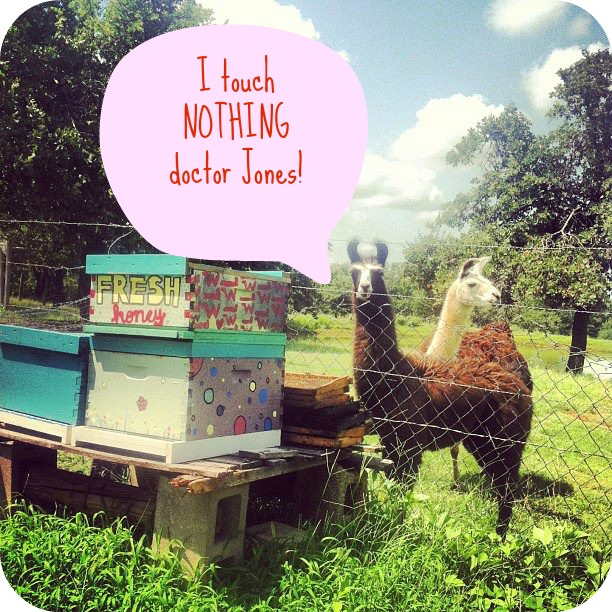 llamas guarding honey with caption