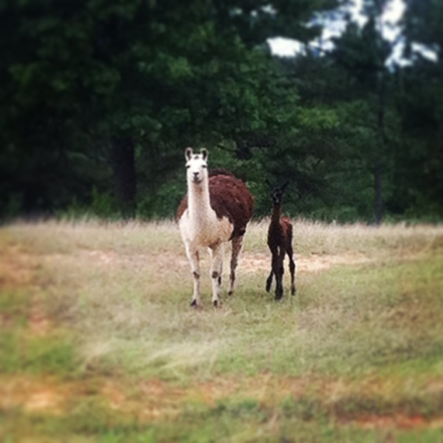 Seraphine has once again gifted the farm with a beautiful, healthy little cria. And we are, once again, madly in love.