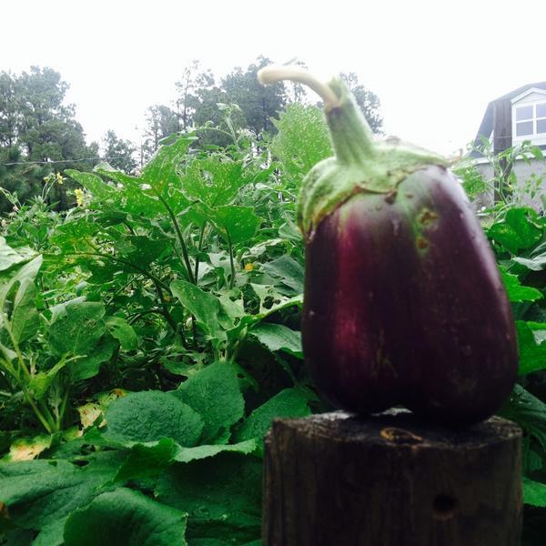 july 2014 eggplant