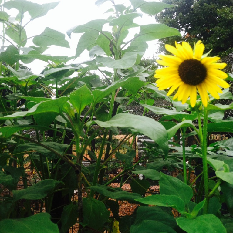 sunflower july 2014