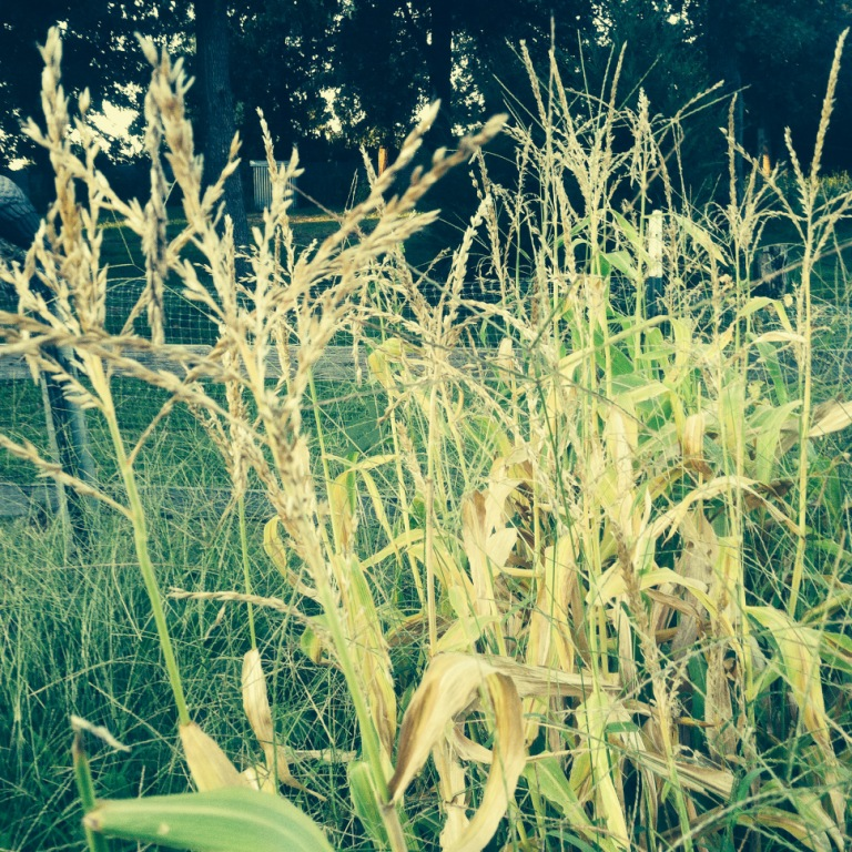 One of these years I will grow corn until people call me the jolly green giant like they did in sixth grade.