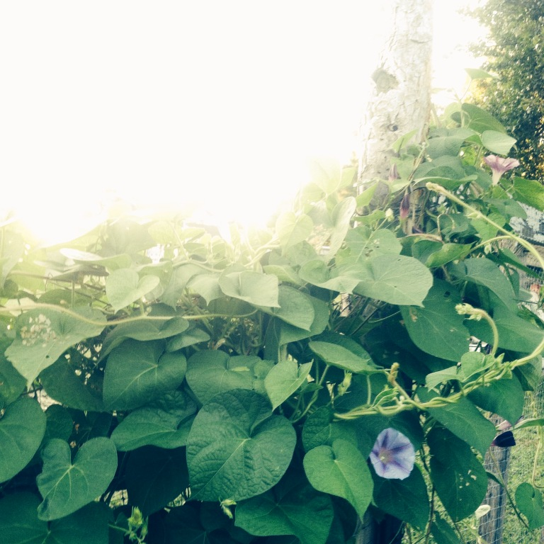 I always feel like I'm in Narnia when I walk among morning glory vines early in the morning...xoxo