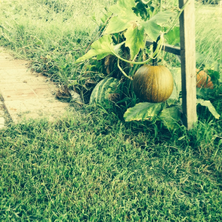 Always bury your spent jack o' lanterns and always scatter your watermelon seeds. You never know what gorgeous vines and fruit will grow from it!