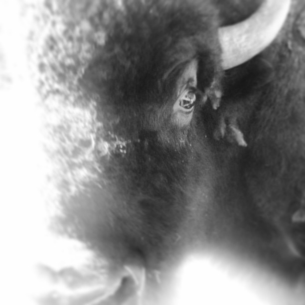 Our beloved Chunk-hi, male bison, four years old in this photo. Gentle giant. xoxo