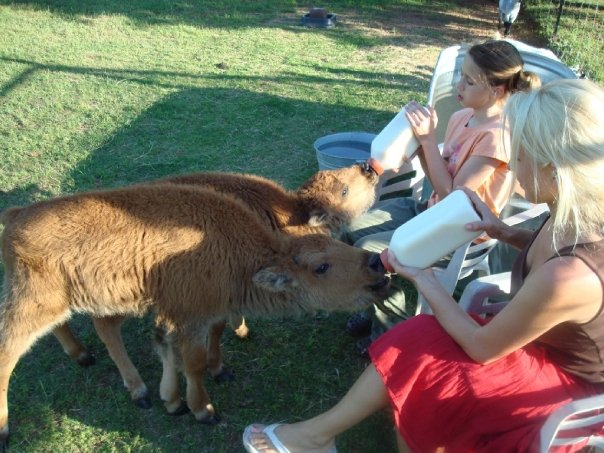 Jessica was almost 12 that summer and indispensable in helping me keep the bison calves full of milk! They learned to love the sight of the big plastic bottles and would suck on our hands for a long time after each feeding. Very sweet bonding time.