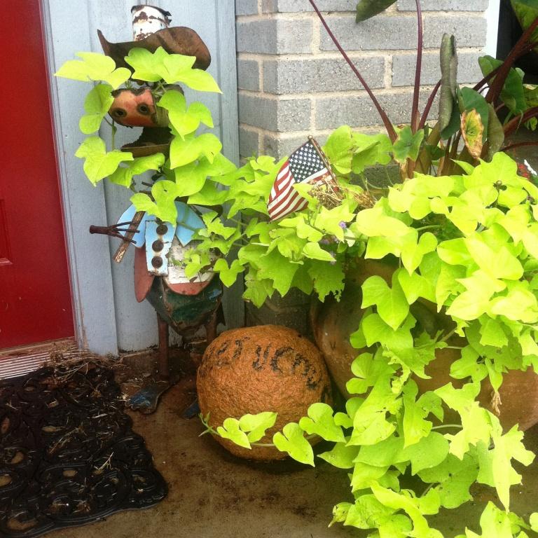 farm rain sweet potato vine