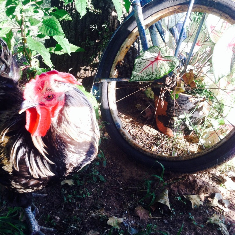 faithful bachelor rooster