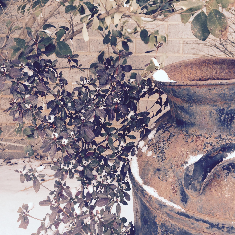 soft snow azalea milk can