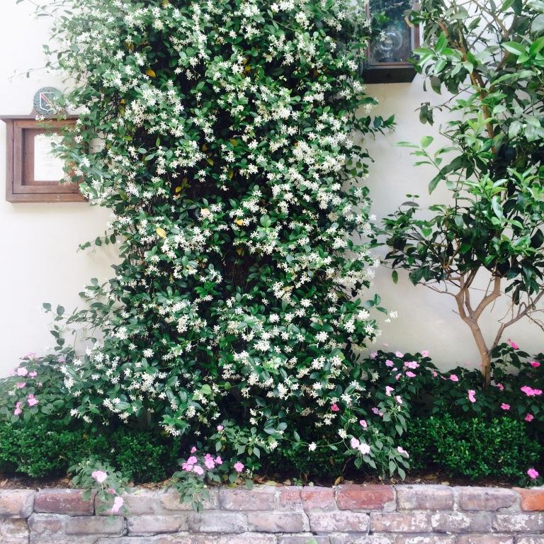 CG climbing jasmine