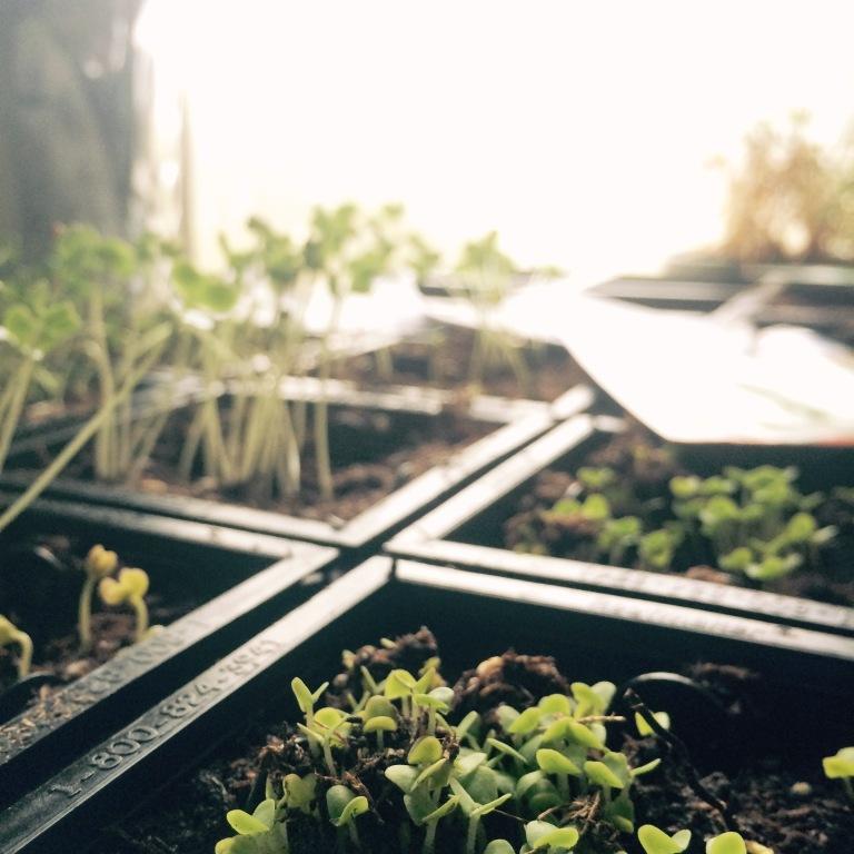 gu basil seedlings