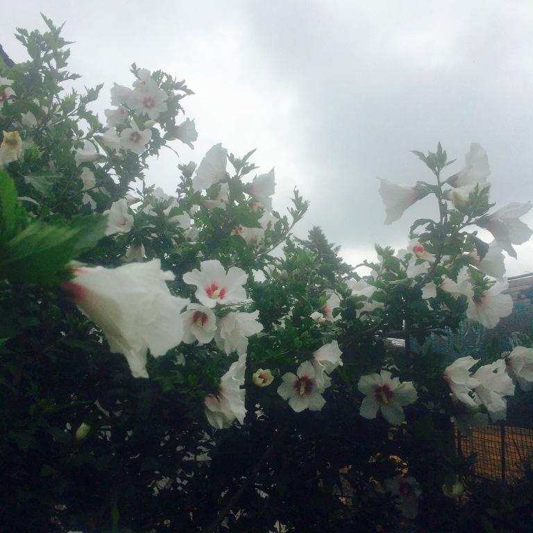 the rose of sharon are blooming and the skies are churning...xoxo