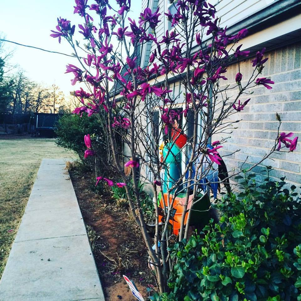 My Jane Magnolia has evolved from this just in the few days since I snapped this photo. Now she has almost as much green as pink, and she is gorgeous. Time marches onward!