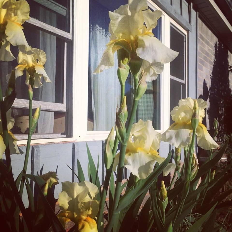 irises april 2016