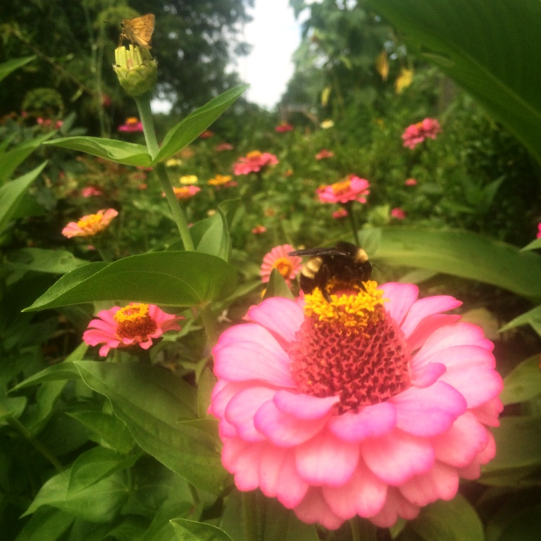 pink zinnia with bumble bee june 2016